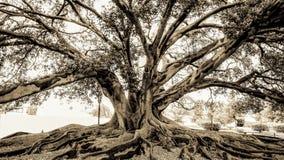 Den malde historiska gamla fikonträdet med över rotar svartvit sepiasignal för filialer Arkivbilder