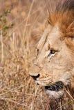 Den Male lionen går i bruna gras Arkivfoton