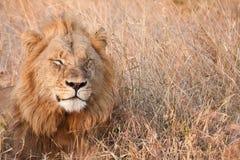 Den Male lionen går lekmanna- i bruna gras Arkivfoto