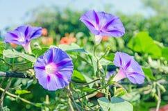 Den malvafärgade Ipomoeapurpureaen, rosa färg blommar, härligheten för den purpurfärgade, högväxta eller gemensamma morgonen, slu Royaltyfri Foto