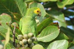 den mandelbonaire papegojan skuldrade treeyellow Arkivbild