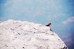 Den manliga agamaen på cliffside vaggar arkivbilder