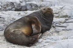 Den manliga antarktiska pälsskyddsremsan, som vilar på, vaggar Arkivbilder