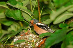 Den manliga bofinken matar fågelungar i rede Arkivbilder