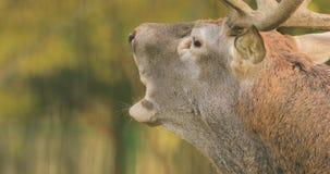 _ Den manliga europeiska röda hjortar eller cervusen Elaphus har en Roar During Rut Röd hjort bebor mest av Europa, Kaukasus lager videofilmer