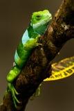 Den manliga Fiji satte band leguanBrachylophus fasciatusen på Viti Levu är Arkivfoto
