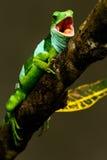 Den manliga Fiji satte band leguanBrachylophus fasciatusen på Viti Levu är Arkivbilder