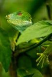 Den manliga Fiji satte band leguanBrachylophus fasciatusen på Viti Levu är Arkivfoton