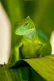 Den manliga Fiji satte band leguanBrachylophus fasciatusen på Viti Levu är Fotografering för Bildbyråer