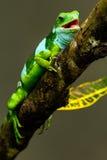 Den manliga Fiji satte band leguanBrachylophus fasciatusen på Viti Levu är Royaltyfri Bild