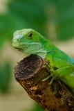 Den manliga Fiji satte band leguanBrachylophus fasciatusen på Viti Levu är Arkivbild