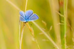 Den manliga fjärilen med blåa vingar Royaltyfria Foton