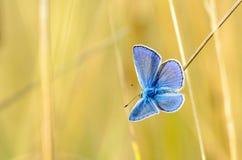 Den manliga fjärilen med blåa vingar Royaltyfri Fotografi