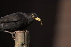 Den manliga gemensamma koltrasten i för fågelliv för UK trädgårds- matande UK arbete för rspb för djurliv matande sätta sig Arkivbild
