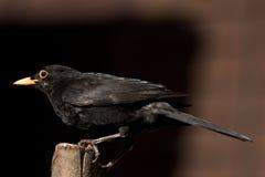 Den manliga gemensamma koltrasten i för fågelliv för UK trädgårds- matande UK arbete för rspb för djurliv matande sätta sig Royaltyfria Bilder
