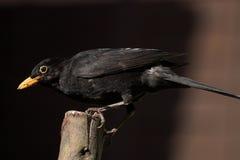 Den manliga gemensamma koltrasten i för fågelliv för UK trädgårds- matande UK arbete för rspb för djurliv matande sätta sig Arkivfoton