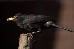 Den manliga gemensamma koltrasten i för fågelliv för UK trädgårds- matande UK arbete för rspb för djurliv matande sätta sig Arkivfoto
