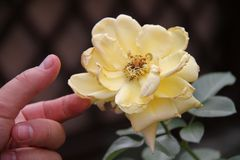 Den manliga handen trycker på fingrar som ett te steg av gul färg arkivfoto