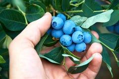 Den manliga handen väljer nya organiska blåbär från busken fotografering för bildbyråer