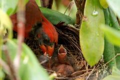 Den manliga kardinalen matar nyfödda fåglar Royaltyfria Foton