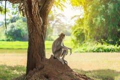 Den manliga macaquen sitter under träd royaltyfri fotografi