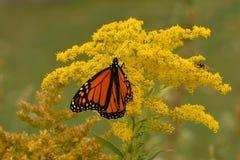 Den manliga monarken på goldenrod Sheldon Lookout Humber Bay Shores parkerar royaltyfri fotografi
