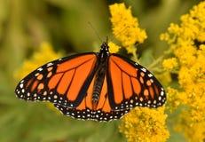 Den manliga monarken på goldenrod Sheldon Lookout Humber Bay Shores parkerar arkivfoto