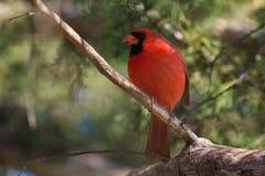 Den manliga nordliga huvudsakliga fågeln sätta sig i ett cederträträd Royaltyfria Bilder