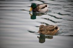 Den manliga och kvinnliga gräsandet duckar upp simning på sjöslut Arkivfoto