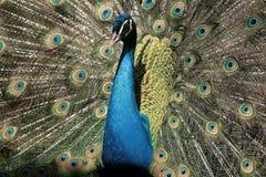 Den manliga påfågeln Arkivbild