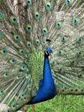 Den manliga påfågeln med fjädrar fördelade ut arkivfoto