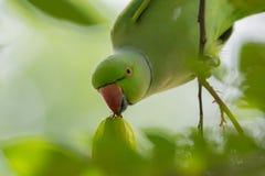 Den manliga ros-ringed parakiter stjäler en frukt från ett träd arkivfoto