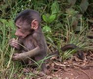 Den Manyara nationalparken, Tanzania - behandla som ett barn babianen Arkivbilder