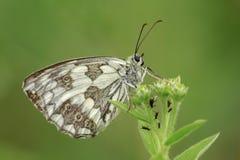Den marmorerade vita fjärilen är på ditt gröna gräs royaltyfri fotografi