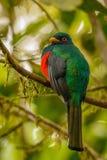 Den maskerade Tragoonen i mest cloudforest i Ecuador Arkivfoto