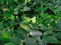 Den massiva och livsviktiga buxusen Nya gröna buxusBuxussempervirens Royaltyfria Foton