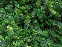 Den massiva och livsviktiga buxusen Nya gröna buxusBuxussempervirens Royaltyfri Bild