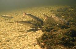 den matande gråa multefiskar springs wakullaen Arkivfoto