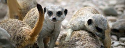 Den Meerkat familjen i fotadjurliv parkerar Arkivbilder