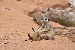 Den Meerkat familjen, Meerkat som modern matar henne, behandla som ett barn Arkivfoton