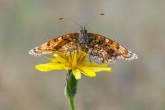 Den Melitaea fjärilen på en gul blomma torkar dess vingar från dagg arkivbild