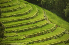 Den mer nära sikten av risen terrasserar sceniskt Arkivbilder