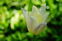 Den mest härliga vita tulpan royaltyfria bilder