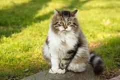 Den mest ledsna Istanbul katten på jorden väntar på en bra vän Royaltyfri Bild