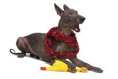 Den mexicanska hårlösa hunden i julglittret, xoloitzcuintlien, lögner och gäspningen gapar på en isolerad vit bakgrund som rymmer arkivbild