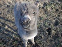 Den mini- åsnan behandla som ett barn royaltyfri foto