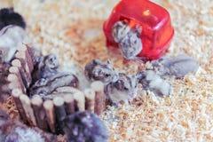 Den mini- hamsterfamiljen är tillsammans Royaltyfri Fotografi