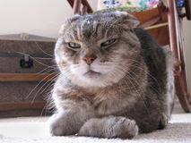 Den misslynta katten med tafsar vikt och bländande uttryck Fotografering för Bildbyråer