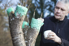 Mitt- åldrig man som inympar fruktträdet Arkivfoto