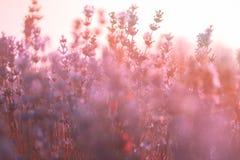 Den mjuka fokusen av lavendel blommar under soluppgångljuset Arkivbild